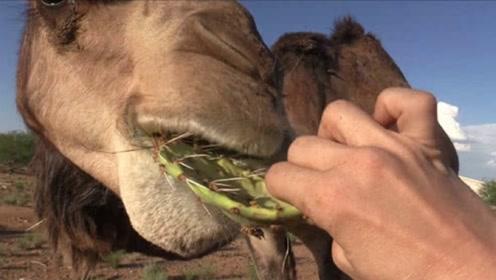 仙人掌浑身是刺,骆驼怎么下得了口?饲养员告诉你答案