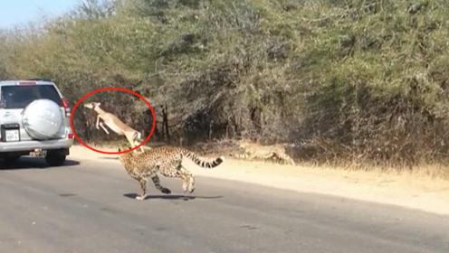 羚羊被豹子追得无路可退,一只羚羊情急之下搭上了救命的顺风车