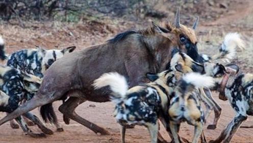 一群野狗围攻牛羚,牛羚失败告终,场面壮观
