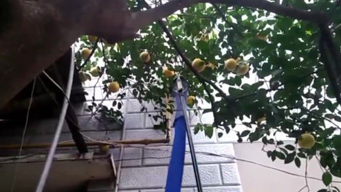 农村牛人发明水果采摘机,不伤果不伤树,效率超高1天摘3吨水果