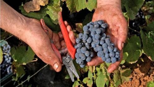 秋季葡萄怎么挑?这种葡萄是养生极品,不要再买错了!