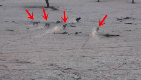 鬣狗误入狮子的埋伏,瞬间火力全开跑得飞快,这求生欲太强了