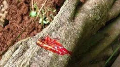 农村老汉上山砍树,发现一颗奇树竟会流血,相传流下的是龙的血液