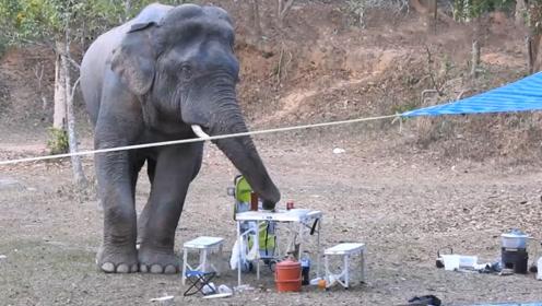 野生大象闯进野餐现场,卷起一瓶烈酒就往嘴里塞,接下来忍住别笑