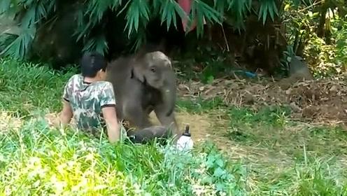 失去双亲的小象被放归野外后被象群抛弃,蜷缩在饲养员腿上睡觉