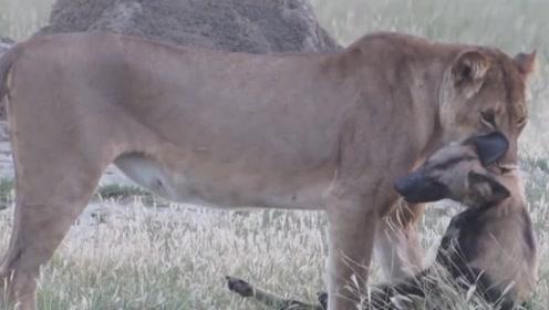 鬣狗惨遭狮子猎杀,利用装死躲过一劫,镜头记录全过程