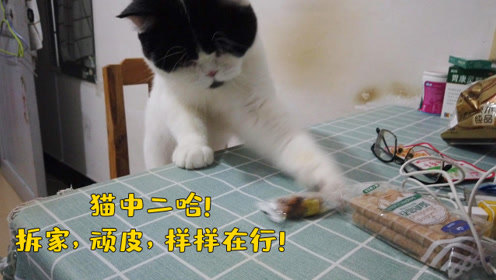 这只奶牛猫绝对是猫中二哈!凡是桌上放的小物件,分分钟就甩下去