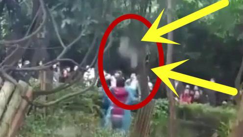 幼年熊猫爬树玩耍时不慎掉落,奶爸赤手将其抱住!