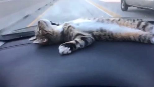 猫咪坐在跑车上,当车加速时,它这个表情可以去当演员了!
