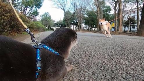 水獭散步看见柴犬,上去就想干架,下一秒忍住不要笑