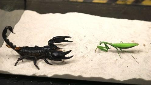 蝎子VS螳螂,钳子和镰刀谁能更胜一筹?镜头拍下全过程!