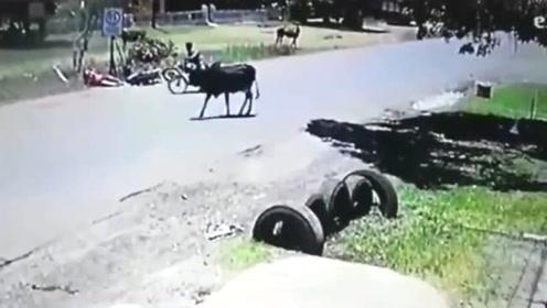 """大黑牛突然就""""怒路"""",5秒后精彩发生,不是监控谁信!"""