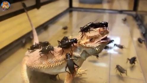 蟋蟀逆天了,抱团敢去进攻大蜥蜴,看来是要被团灭了