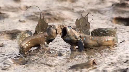 世界上最神奇的鱼,可以长时间在陆地生活,还会爬树!