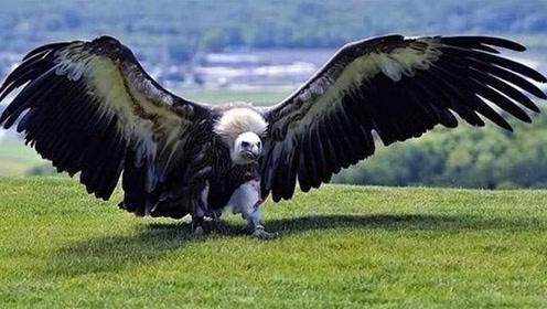 史上最大的鸟类,狮子见到都躲着走,一生没有任何天敌!