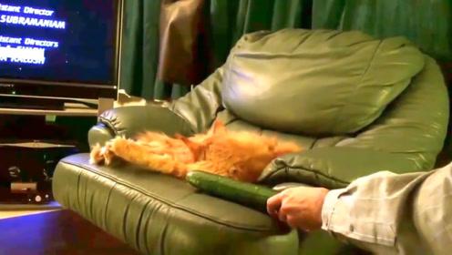 网友作死趁猫不注意,把黄瓜放到其身后,网友:这就叫原地起飞