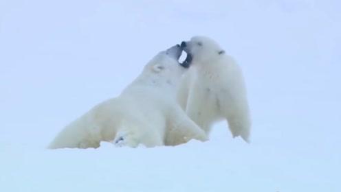 别再被骗了,北极熊真实的样子并不凶残,玩耍时开心的像个孩子