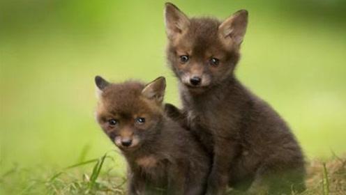 小狐狸长了一张狗脸,狐狸妈妈都不肯认,一个月后惊喜突然袭来