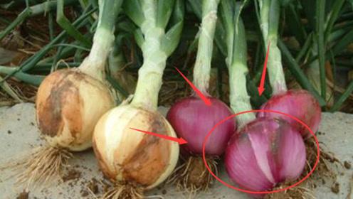 """虽然吃洋葱好处多多,但医生研究发现:""""这3类人""""吃了危害健康!"""