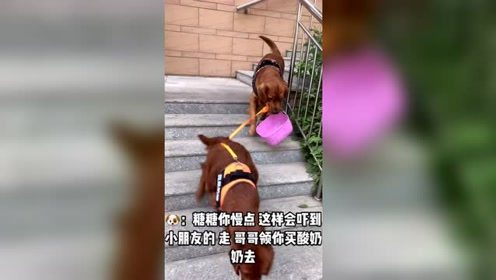 金毛带着小狗去买零食,这只狗真会照顾小狗,看着非常不错