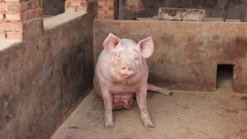 男子家没有公猪,可母猪却怀孕了,看到生下的猪崽,邻居笑出声