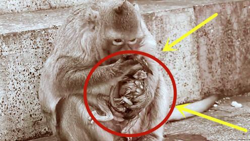 母猴给猴宝宝洗澡,居然是用嘴洗的,刚出生的小猴子眼也睁不开!