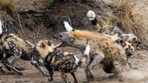 真的是报应不爽,无恶不作的鬣狗落单,被野狗围攻致死!
