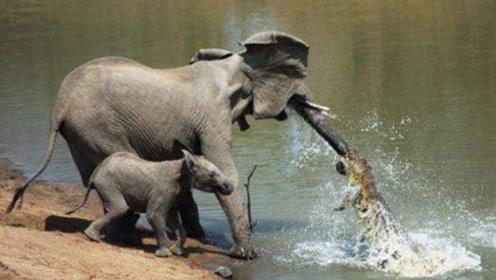 鳄鱼死咬住小象鼻子不放,大象妈妈一脚踩下去,整个世界都安静了