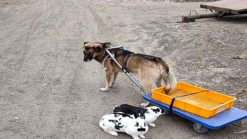 这就是农村人养的狗子,太可怜了,竟然成了兔子的车夫!