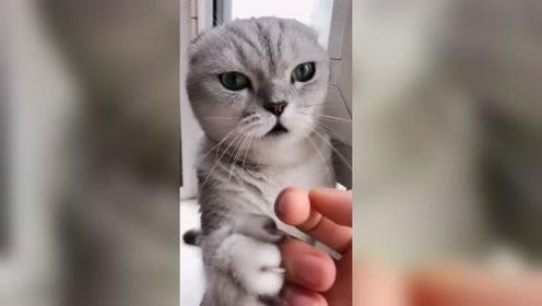 喵星人团子的暴脾气太可爱了,猫咪这么凶你见过吗?