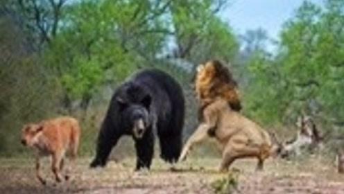 300斤黑熊闯入狮子领地,狮子立马冲了上去,大开杀戒!