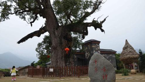 江西一棵千年古樟树,村中有大洞可以在里面打麻将,死了现在枯木又逢春活了