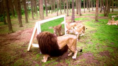 当野兽之王狮子遇见镜子会发生什么?这样的傻狮子我还是头一次见
