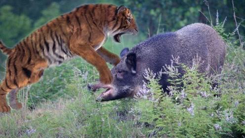 东北虎和野猪打架,最后却是老虎惨败,镜头记录精彩画面!