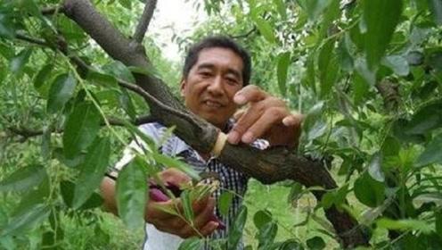 为什么说果树不结果时,要在树上砍几刀,明年就会结很多果子?看完涨知识了