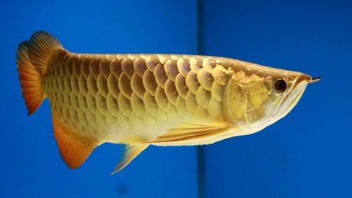 世界上最贵的鱼,鳞片中真的含有黄金,价值百万都不过分!