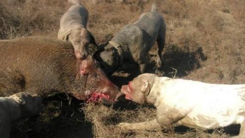 几只猎狗拼命攻击野猪,完全不给野猪一点活路,镜头拍下惊险一刻