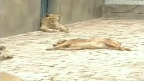 金毛误入狮群,接下来就尴尬了,狗狗:加装是头狮子