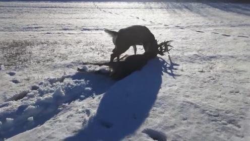 两头鹿在雪地打架,不料鹿角卡在一起,打赢了却差点冻死在雪里!