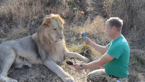 雄狮不愿意梳毛,饲养员只能趁机左右开弓,看得是胆战心惊!