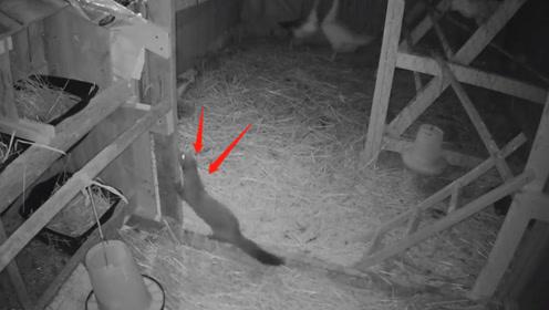 黄鼠狼最大的天敌,竟然是我们最常见的动物,说出来你可能想笑