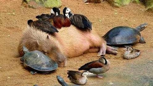 动物界人缘最好的动物,每次出现身边都有很多动物陪伴,它是如何做到的?