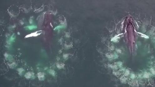 叹为观止!两头座头鲸神同步转圈吐泡泡捕鱼 无人机拍下神奇一幕