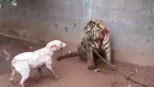 比特犬挑衅老虎,结果被安排的明明白白,镜头记录全过程!