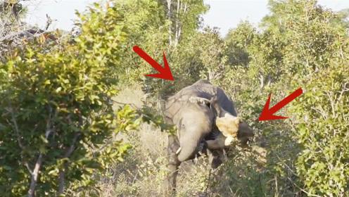 狮子捕食落单小象,本以为十拿九稳,结果悲剧了