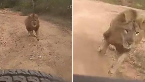 胆战心惊!印度一动物园内雄狮发怒追赶游客汽车