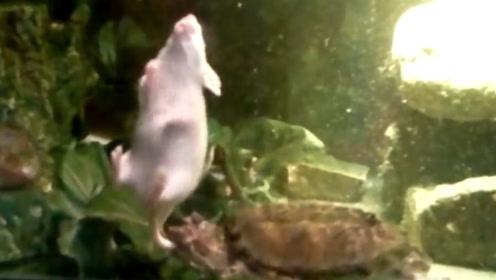 白鼠被乌龟一口咬住尾巴,拖进水里活活淹死,镜头记录淹死全程!