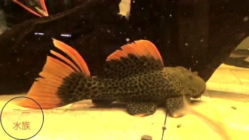 这鱼就是帝王血钻,能卖5000吗?据说没有黄金达摩贵