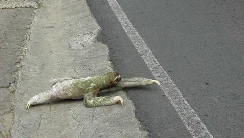 老司机嫌树懒过马路走太慢,一把就提起让它飞跃马路