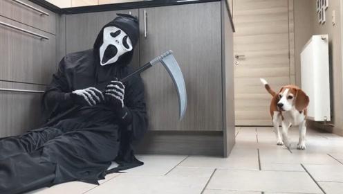 主人COS死神躲在厨房想吓唬狗狗,狗狗非但没有被吓到还把他的道具夺走了